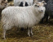 ADOPT a  ICELANDIC Sheep club- for 6 months get natural rovingor Batt blend