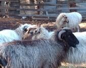 NAVAJO CHURRO Sheep  1 month virtural adoption 2 skeins
