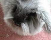 Adopt - BUGGSY - a Angora bunny for an 3 months,and receive a skein of yarn per month