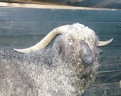 Adopt  GRRR a Angora Goat for an 3 months,and receive 2 skein of yarn per month