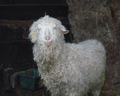Sponsor a Angora Goat for an 6 months,and receive a 2 skeins of yarn per month