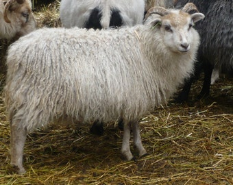 ADOPT a  ICELANDIC Sheep club- for 6 months get natural rovingor Batt blend