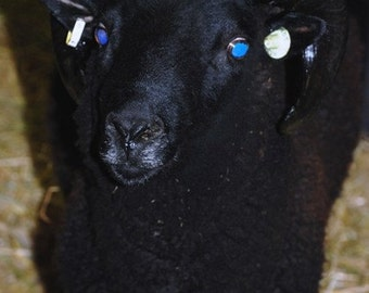 VIRTUAL Adopt A Rare and Endangered Black Welsh Mountian sheep for an 6 mo CLUB  (this is Not for the live Animal )