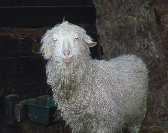 Adopt a Angora Goat for an 6 months,and receive a 2 skeins of yarn per month