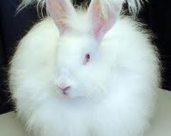 Adopt a Angora bunny for an 3 months,and receive a skein of yarn per month  (this is Not for the live Animal )
