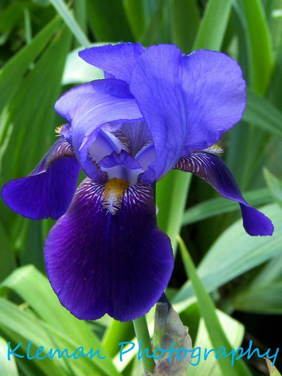 Purple Bearded Iris #3 8x10 Matte-READY TO SHIP