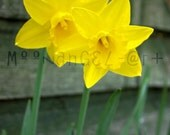 Daffodil Duo 8x12 or 8x10 Inch Fine Art Photo