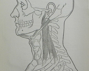 Vintage 1919 Black and White Print of the Head, Teeth, Neck, Muscles and Bones