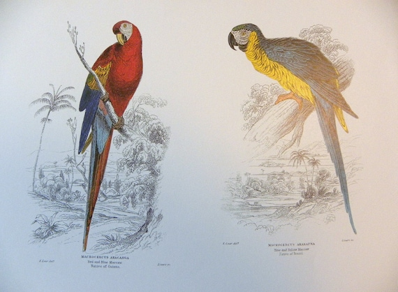 Full Color Illustration Plate of Parrots and Pigeons from William Jardines Naturalists Library Copyright free Double sided