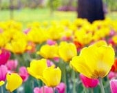 BLACK FRIDAY - Spring Flower Photography, Floral, Nature Photo, Tulips, Yellow, Pink, Bokeh, Spring, Wall Decor - Mellow Yellow