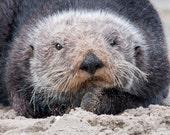 Sea Otter close up   greeting card