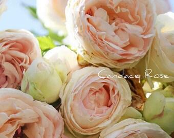 Light Pink English Roses Fine Art 8 x 10 Photography Print