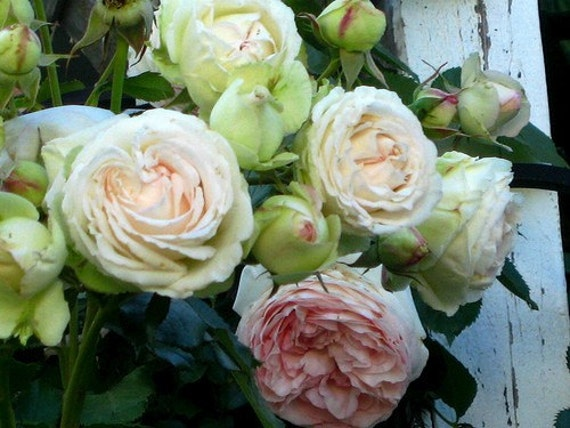 Cottage English Roses - 5 x 7 Photography Print
