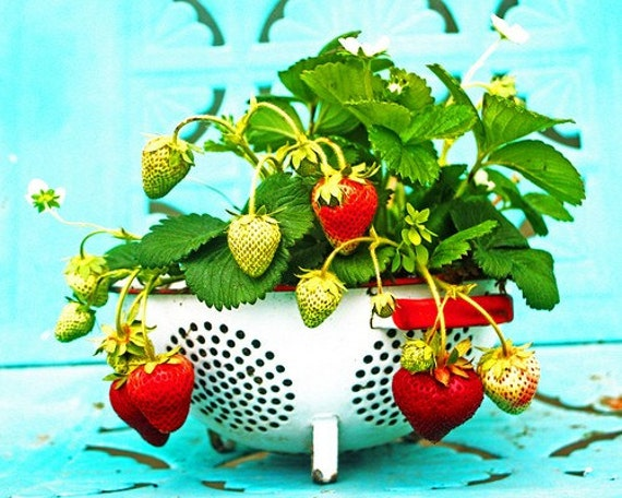Retro Strawberries on Turquoise - 8 x 10 Photography Print