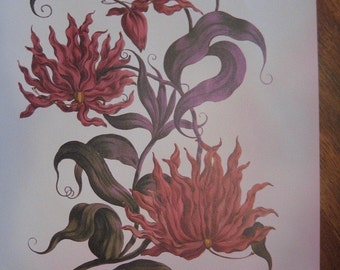 Vintage Botanical Print, Glory Lily from China