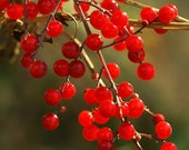 Red Berries in the Autumn 5 x 7 Lustre Photo