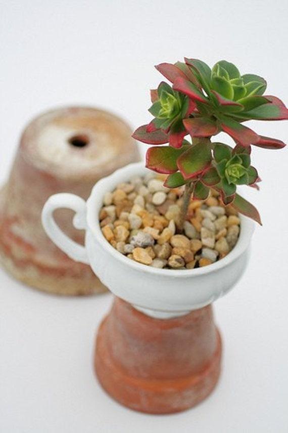 Aeonium 'Kiwi' in Vintage Tea Cup (Succulent)