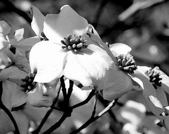 Fine Art Photography-Dogwood Flowers