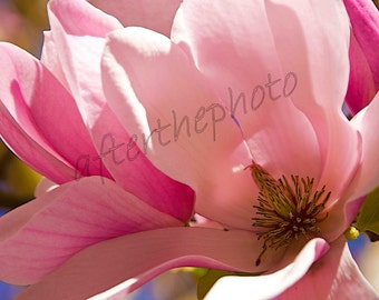 Fine Art Photography-Magnolia Time