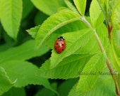 8x10 - Ladybug on Rosebush - signed fine art print.