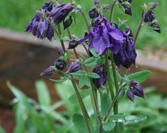 Organic Columbine Aguilegia Double Blue 20 plus  seeds