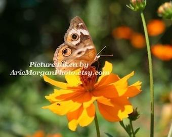 Heirloom Organic Orange Cosmos seeds for your garden