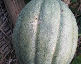 Heirloom Old Time Tennessee Muskmelon 20 seeds