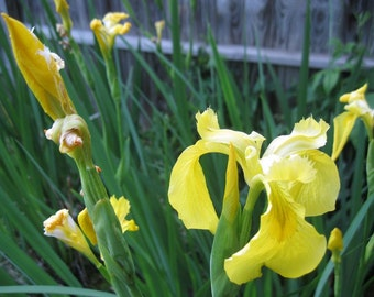 BULK SALE 10 Yellow Flag Bog Iris plants great for ponds and water features