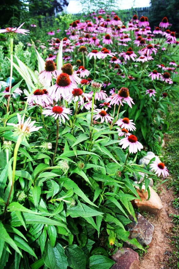 Echinacea Magnus Live coneflower plant for your garden