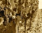 wine on the vine 5- original 8x10 or 8x12 beautiful photo