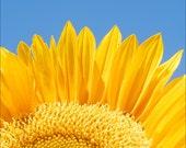 Sunflower Archival Print 342