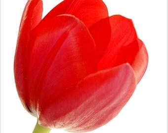 Red Tulip 2 Archival Print