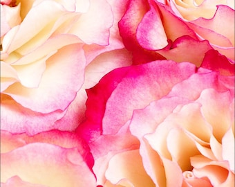 Archival Pink Tea Rose Photograph