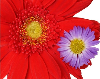 Red and Purple Flower Photograph - Archival Print