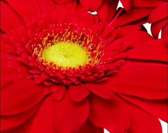 Red Archival Flower Print 0104