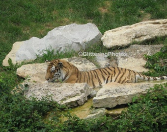 Tiger, At Rest, Louisville Zoo, Louisville, Kentucky, Fine Art, Photograph, Print, 8 x 10, Glossy