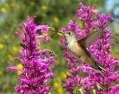 Hummingbird and Hyssop Card