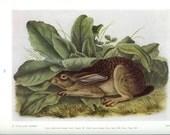1951 Audubon Animal Print - Texas Jack Rabbit - Vintage Antique Book Plate Art Illustration Natural Science Great for Framing