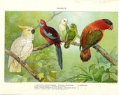 1903 Bird Print - Parrots - Vintage Antique Home Decor Book Plate Art Illustration for Framing 100 Years Old