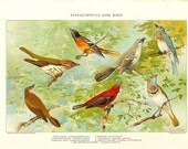 1903 Bird Print - Song Birds - Vintage Antique Home Decor Book Plate Art Illustration for Framing 100 Years Old