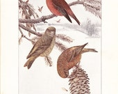 1916 Bird Print - Crossbill - Vintage Antique Book Plate for Natural Science or History Lover Great for Framing Nearly 100 Years Old