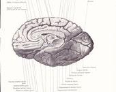 1926 Human Anatomy Print - Median Inferior Surfaces Cerebrum Brain - Vintage Antique Medical Illustration Doctor Hospital Office