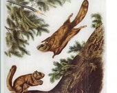 1951 Audubon Animal Print - Northern Flying Squirrel - Vintage Antique Book Plate Art Illustration Natural Science Great for Framing
