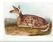 1951 Audubon Animal Print - Virginia White Tailed Deer - Vintage Antique Book Plate Art Illustration Natural Science Great for Framing