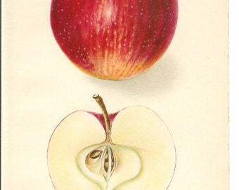 1907 Fruit Print - Delicious Apple - Vintage Home Kitchen Food Decor Plant Art Illustration Great for Framing 100 Years Old