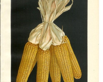 1909 Agriculture Print - Ears of Corn - Vintage Home Kitchen Food Decor Plant Art Illustration Great for Framing 100 Years Old