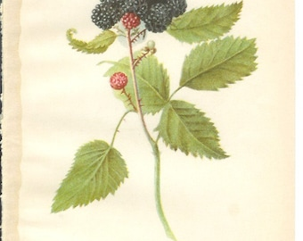 1909 Fruit Print - Winfield Raspberry - Vintage Home Kitchen Food Decor Plant Art Illustration Great for Framing 100 Years Old