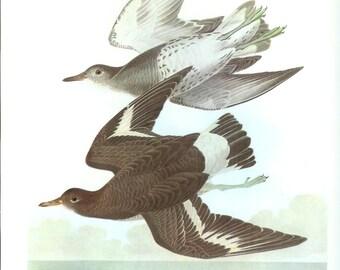 John James Audubon Bird Print - Surf Bird - Vintage Natural Science Home Decor Art Illustration Great for Framing