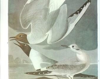 John James Audubon Bird Print - Bonepartes Gull - Vintage Natural Science Home Decor Art Illustration Great for Framing