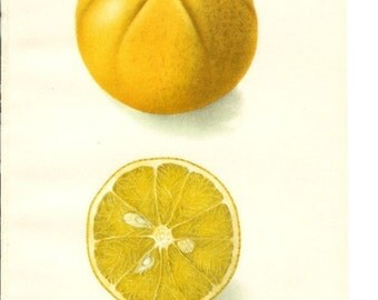 1906 Fruit Print - Savage Citrange - Vintage Home Kitchen Food Decor Plant Art Illustration Great for Framing 100 Years Old